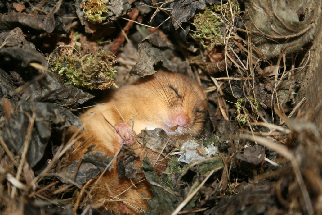 Dormouse Sleeping, Mark Satinet